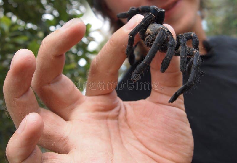 Prawdziwa wielka czarna pająk tarantula w ludzkiej ręce zamkniętej w górę zdjęcia stock