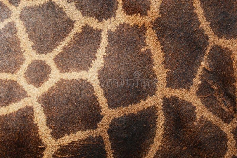 Prawdziwa żyrafy Skóry Skóra Zdjęcia Royalty Free
