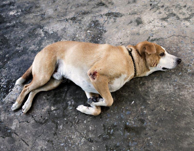 Prawdziwy choroba pies z przyglądającymi smutnymi oczami fotografia royalty free