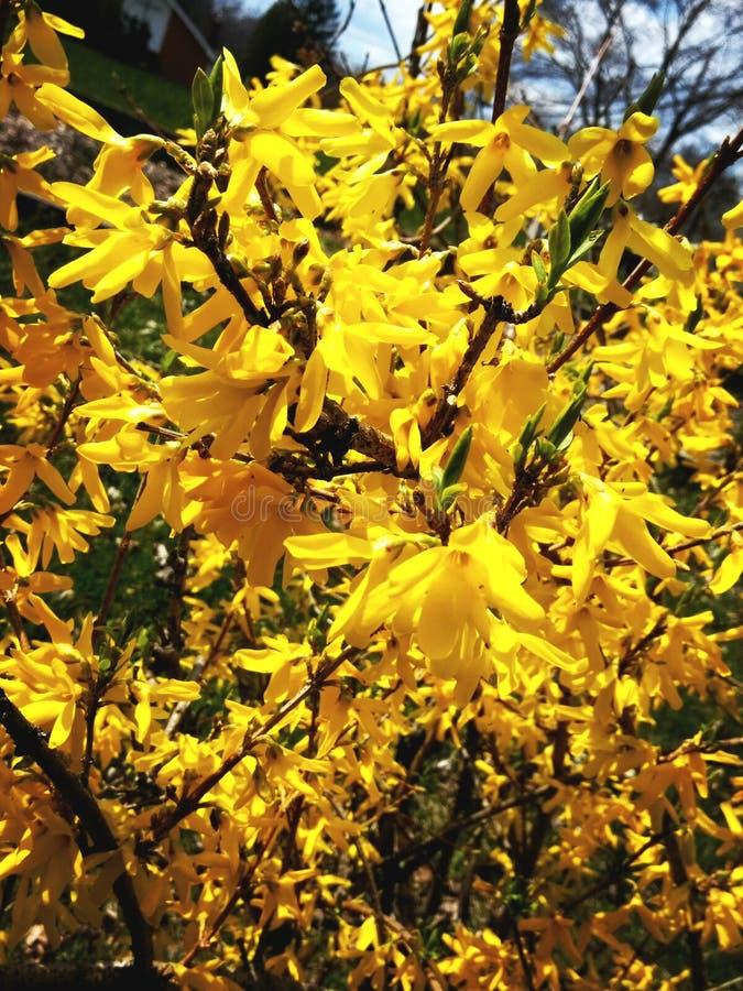 Prawdziwy kolor żółty obrazy royalty free