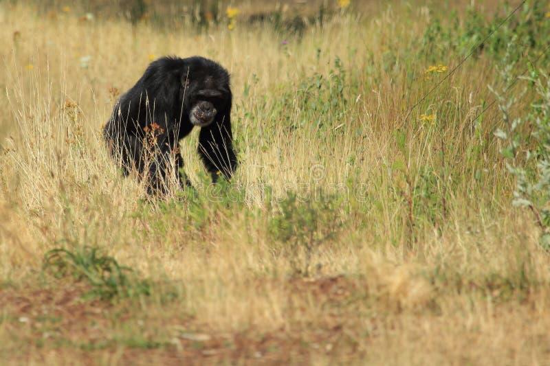 Prawdziwy szympans obraz stock