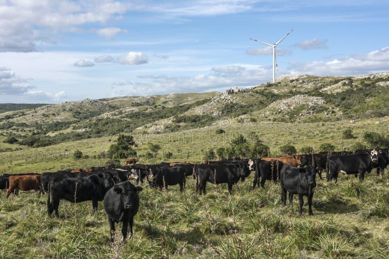 Prawdziwy Urugwaj wiatraczki, zielone technologie i bydlę -, zdjęcie stock