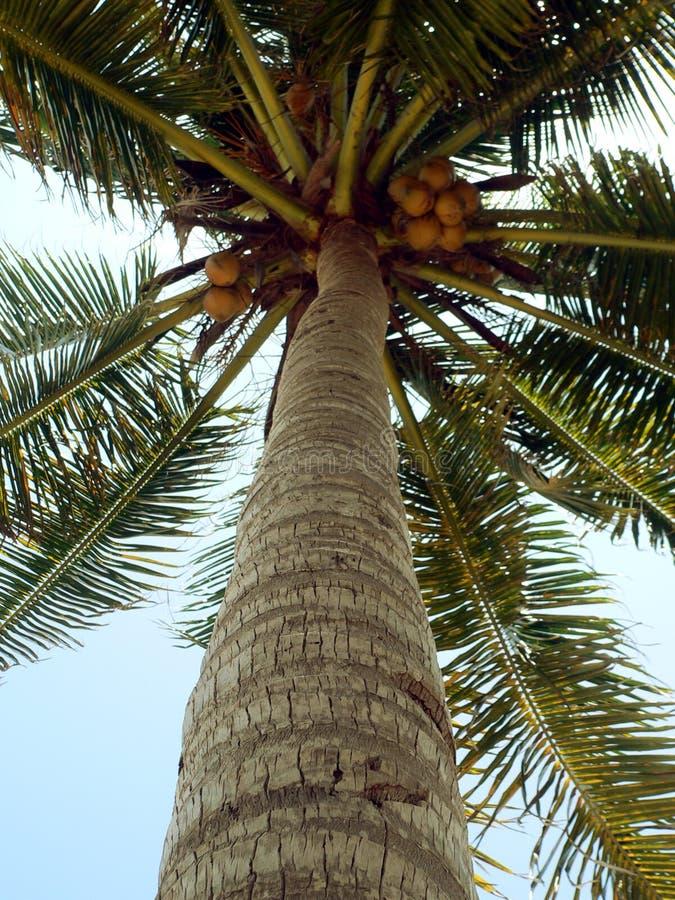 prawie dojrzałe kokosów zdjęcie stock