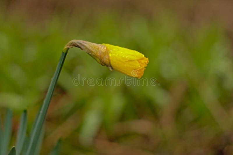 Prawie otwierający żółtego daffodil pączek z deszczem kapie w lesie obrazy royalty free