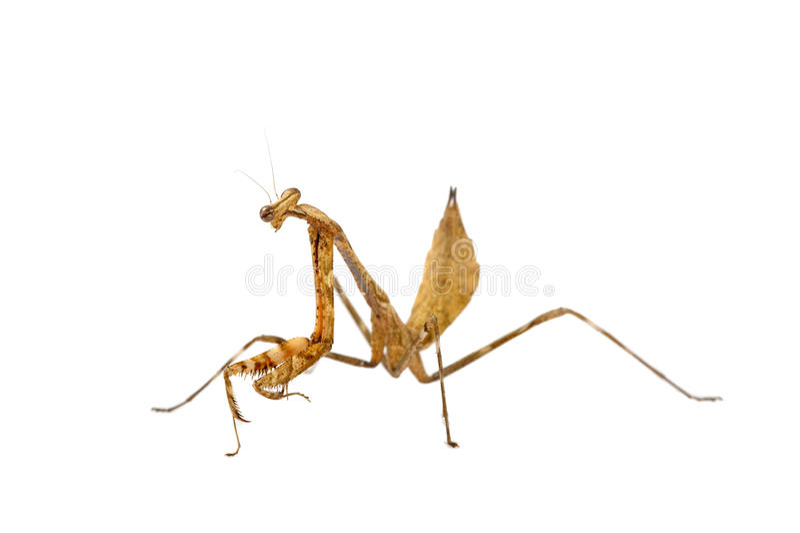 Download Pray Mantis stock image. Image of pinnapavonis, isolated - 11001159