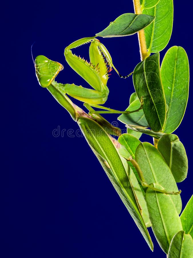 Download Praying Mantes stock image. Image of insect, free, close - 83017627