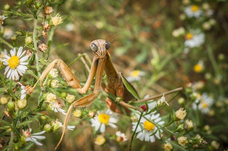 Praying Mantin (Mantodea). Praying mantis lurking in the bushes searching for prey stock image