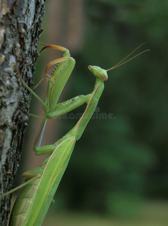 Download Praying mantis stock image. Image of praying, religiosa - 15775539