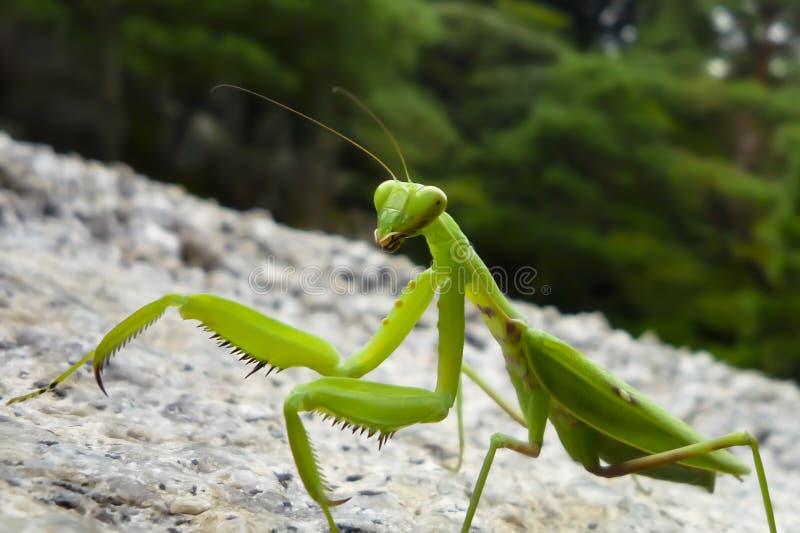 Praying Mantis. Close up of praying mantis walking on stone ground against a blurred background in Japan stock photos