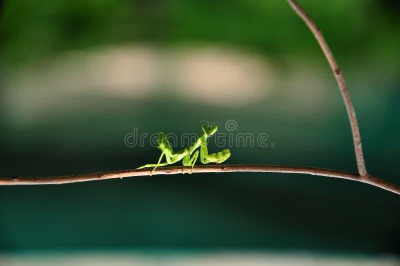 Praying mantis. Green praying mantis sticking to dry stem royalty free stock images