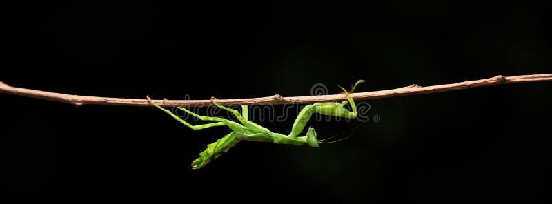 Praying mantis. Green praying mantis sticking to dry stem royalty free stock photos