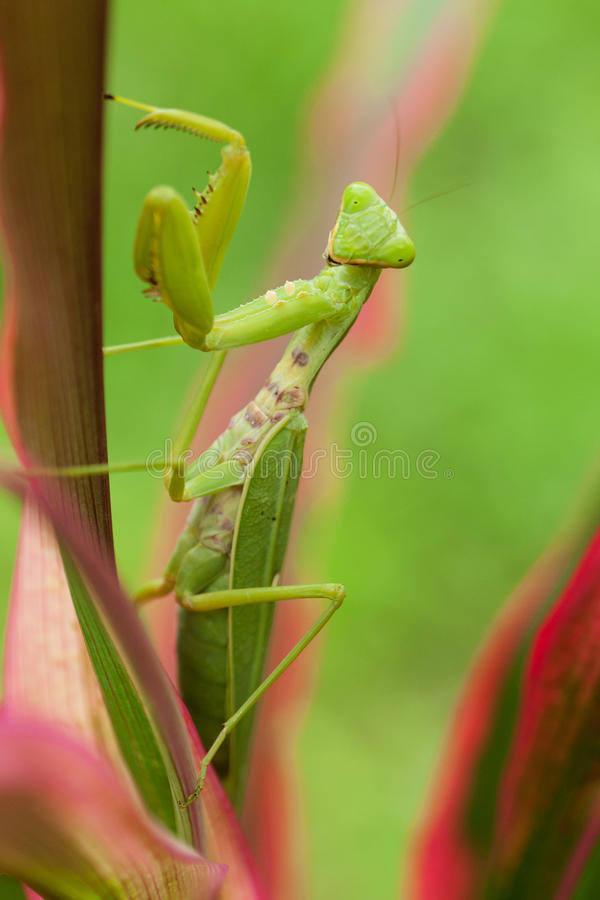 Praying mantis. Close up of insect in the nature royalty free stock photos