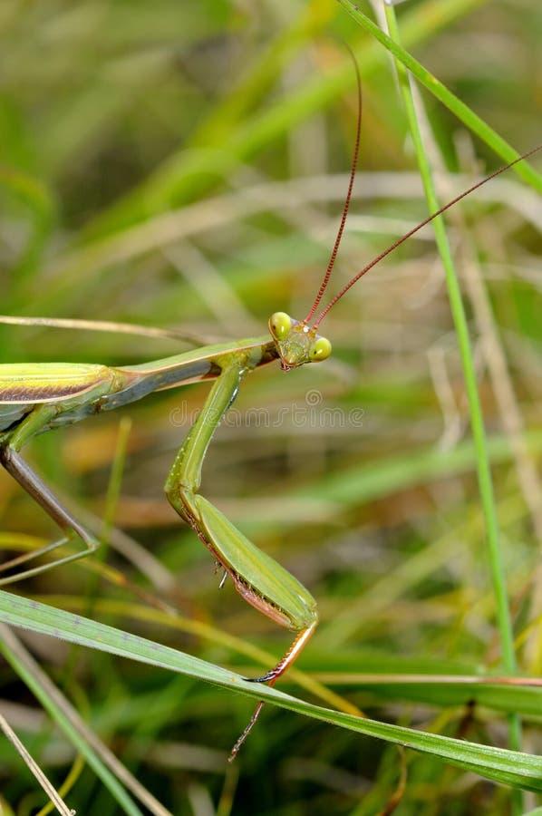 Download Praying mantis stock photo. Image of animal, macro, animals - 20981888