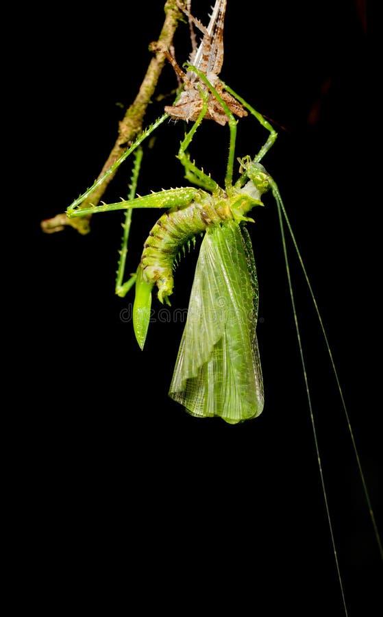 Free Praying Mantis Royalty Free Stock Photo - 22269185