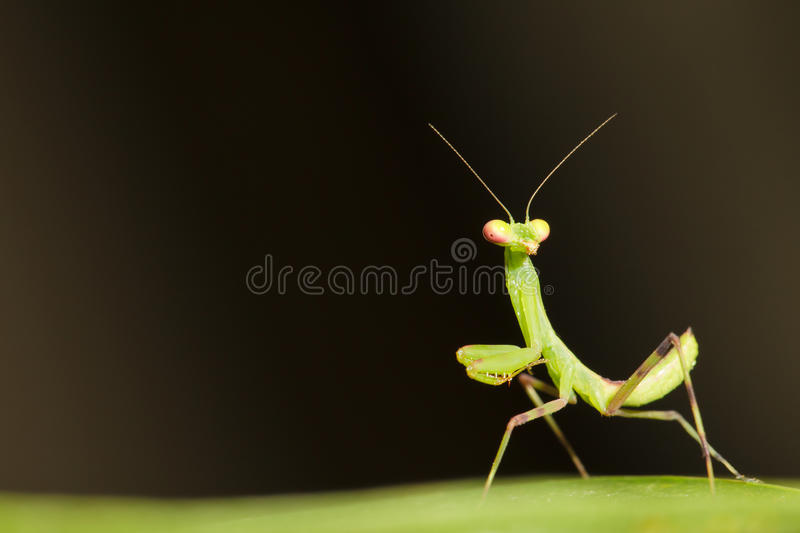 Praying Mantis. Macro of baby Praying Mantis stock images