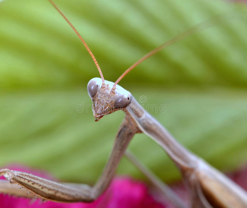Praying mantis. Insect praying mantis on flower stock image