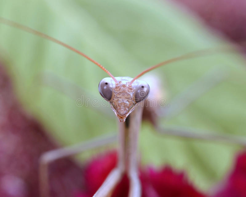 Download Praying mantis stock image. Image of looking, camouflage - 26197665