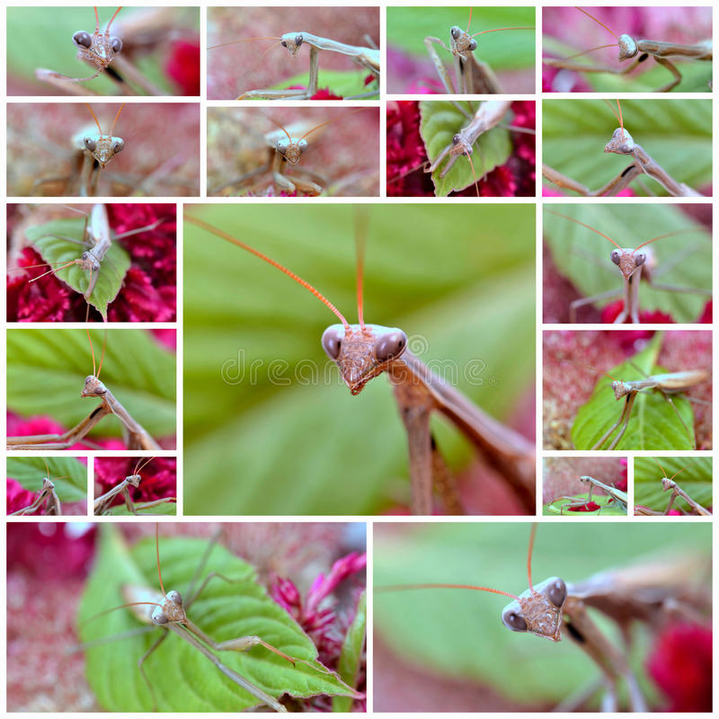 Praying mantis. Insect praying mantis on flower royalty free stock photo
