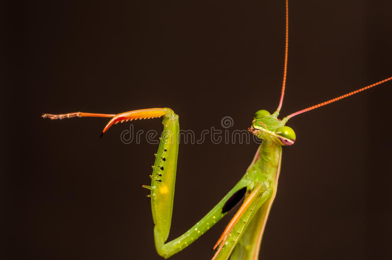 Download Praying Mantis Stock Photos - Image: 26465883