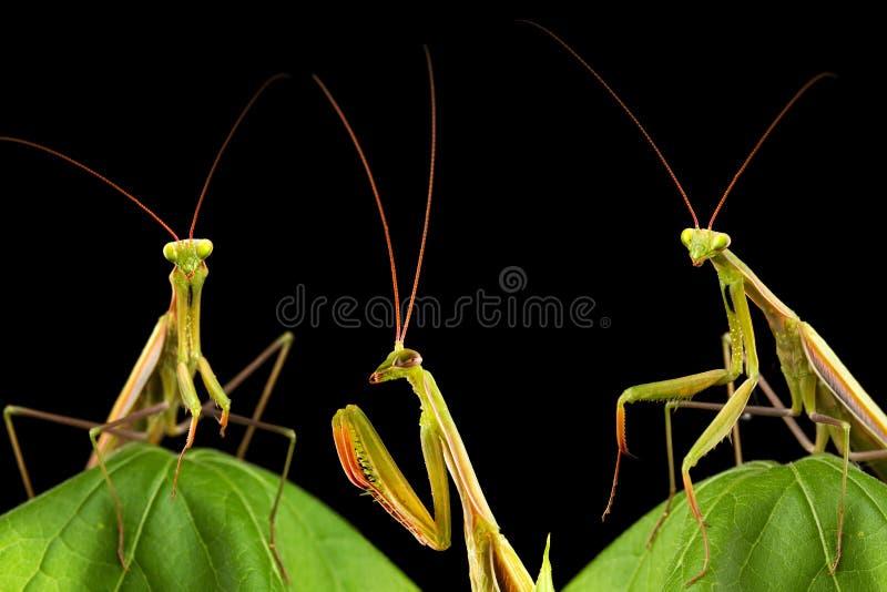 Download Praying mantis stock photo. Image of insect, hunting - 26479826