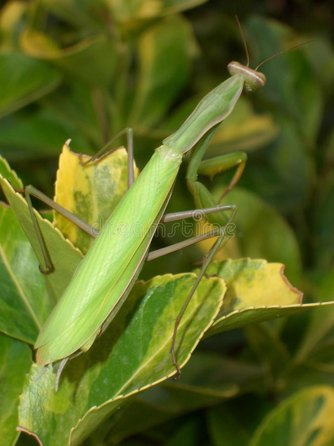 Download Praying Mantis Stock Images - Image: 28918674