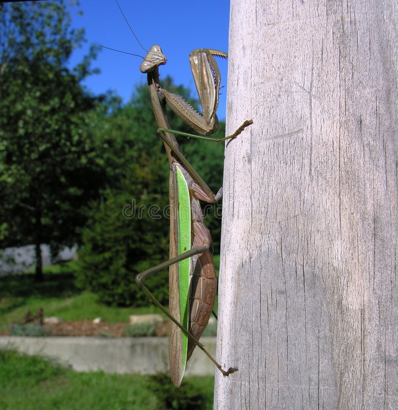 Download Praying Mantis stock photo. Image of wild, nature, camouflage - 416398