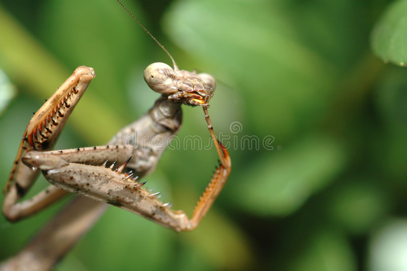 Download Praying Mantis stock image. Image of eyes, meal, licking - 507805