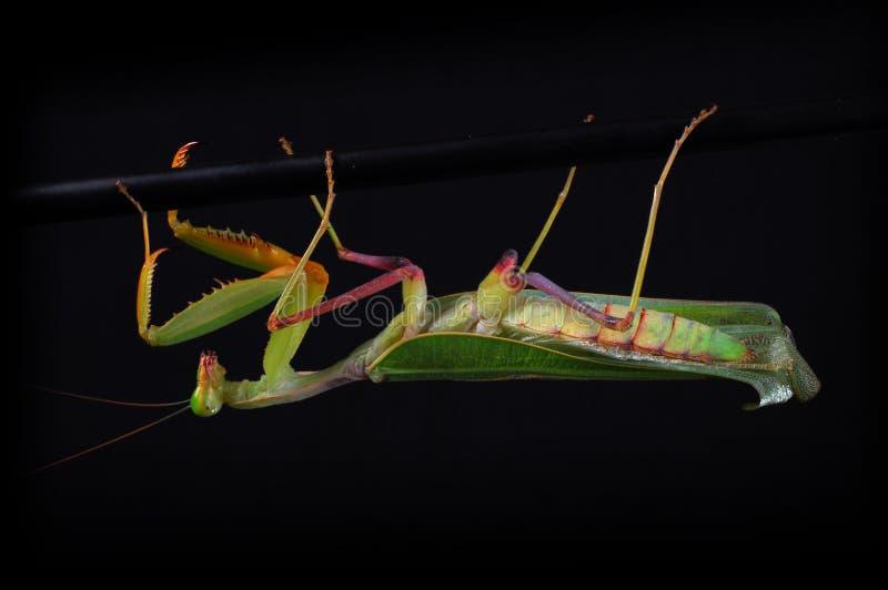 Download Praying mantis stock image. Image of looking, alien, front - 5899087