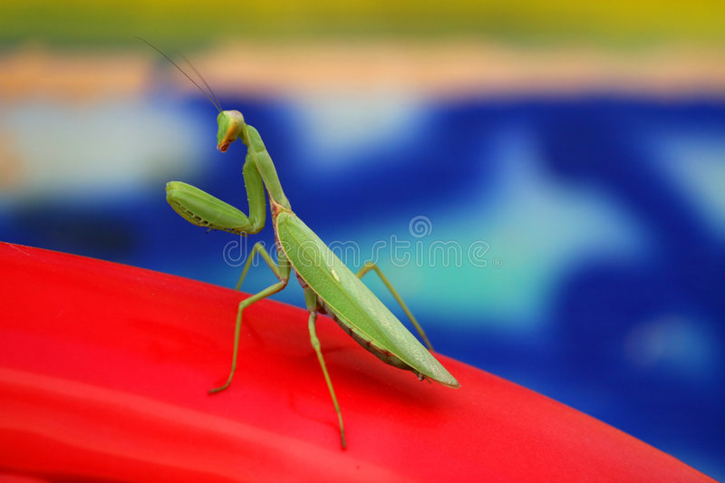 Praying Mantis. Waiting to strike against red and blue background royalty free stock images