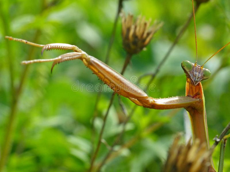Praying Mantis 3 royalty-vrije stock fotografie