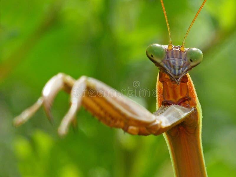 Praying Mantis 2 stock foto