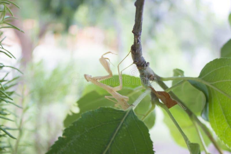 Praying mantis back side view royalty free stock photos