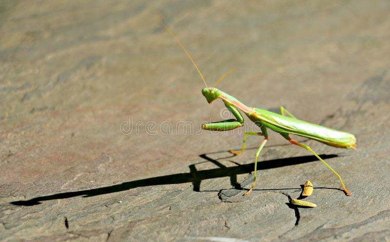 Praying Mantis. A beautiful praying mantis checking out his shadow stock images