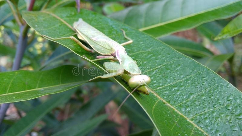 Praying Mantis and Beautiful Morning Dew stock photography
