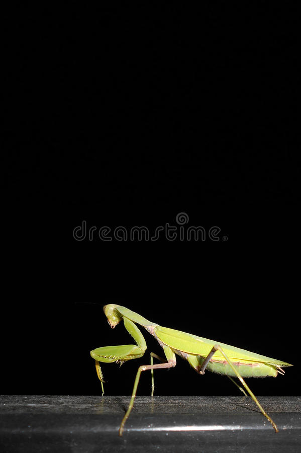 Praying mantis on black background stock image