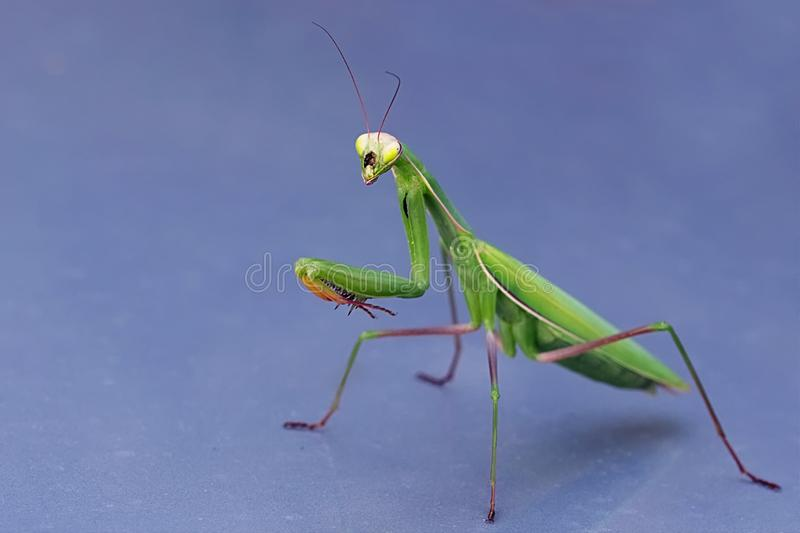 Praying mantis on a blue grey background royalty free stock photography