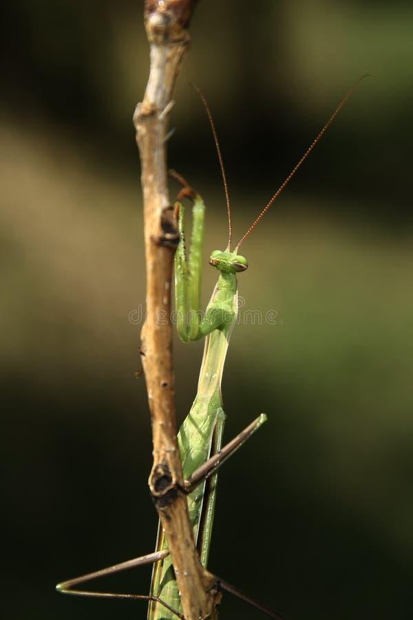 Download Praying Mantis On The Bough Stock Photo - Image: 13476444