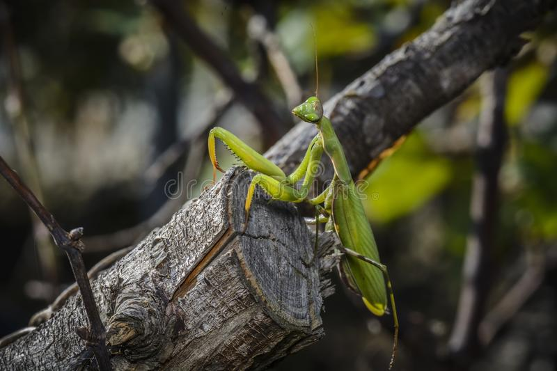 Praying mantis on a branch. Against blurry background royalty free stock images