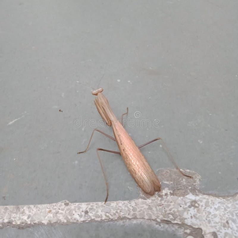 Praying Mantis, Brown volwassen vrouwelijke Europese mantis stock fotografie
