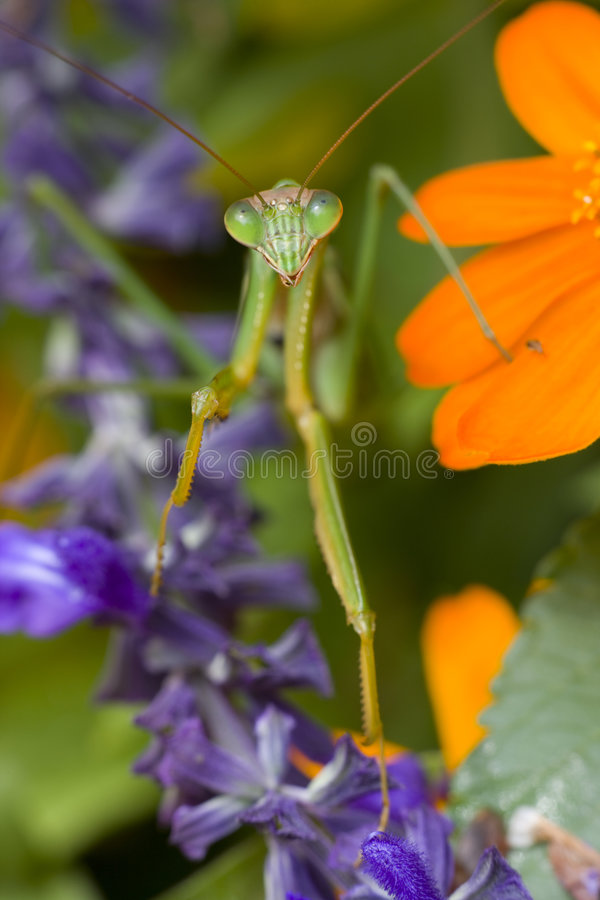 Praying Mantis, Chinese Mantis. (Tenodera aridifolia sinensis) on purple flowers royalty free stock photos