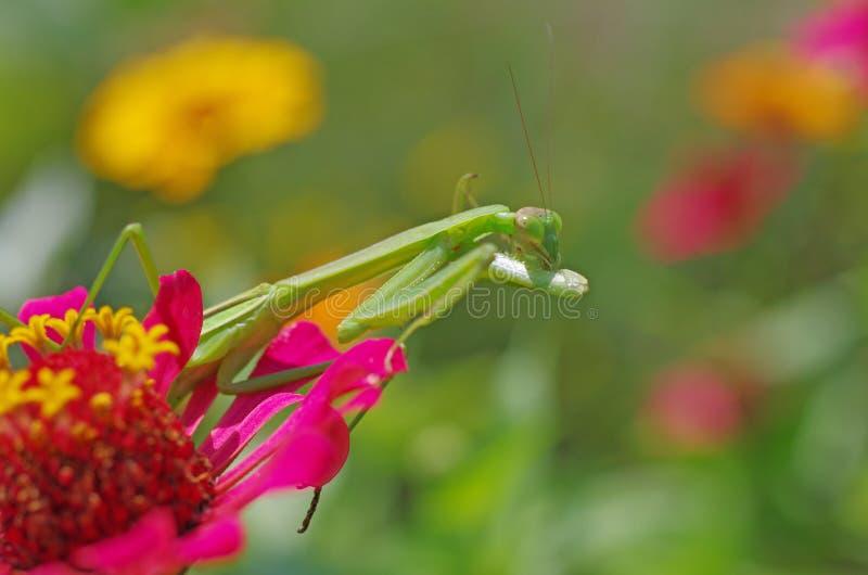 Download Praying Mantis Cleaning Its Foreleg Stock Photo - Image: 34437284