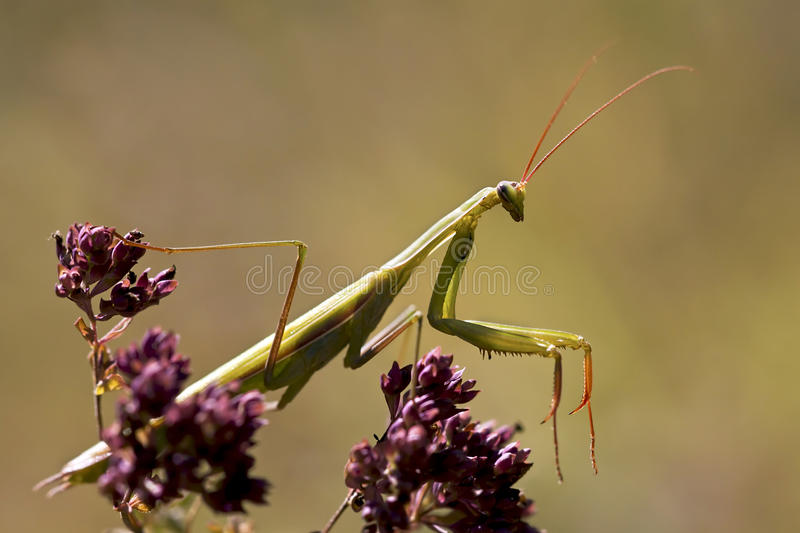 Praying mantis. Climbing on a purple flower royalty free stock images