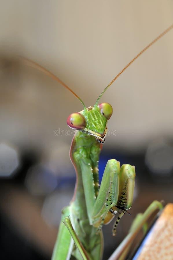 Free Praying Mantis Close Up Royalty Free Stock Images - 11159809