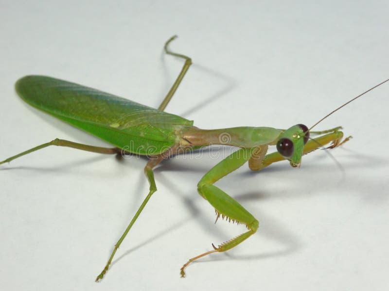 Praying mantis. Close up on white background stock photos