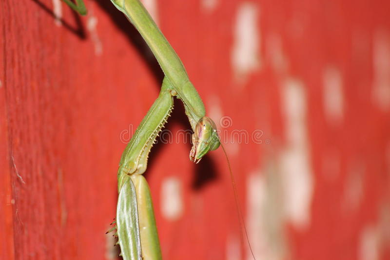 Praying Mantis Closeup. Closeup of a praying mantis sitting on a barn door royalty free stock image