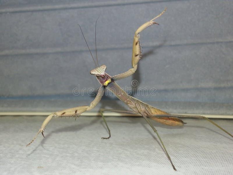 Praying Mantis dancing royalty free stock photo
