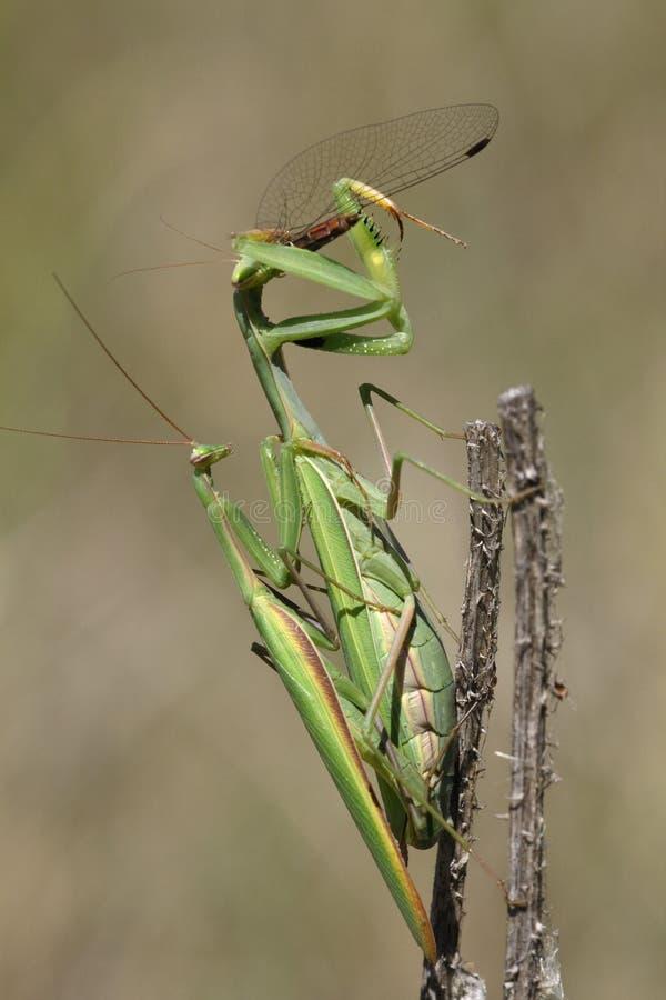 Free Praying Mantis Eating And Mating Stock Image - 10989631