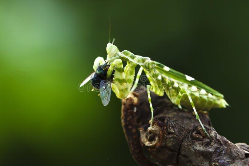 The praying mantis eating stock photography