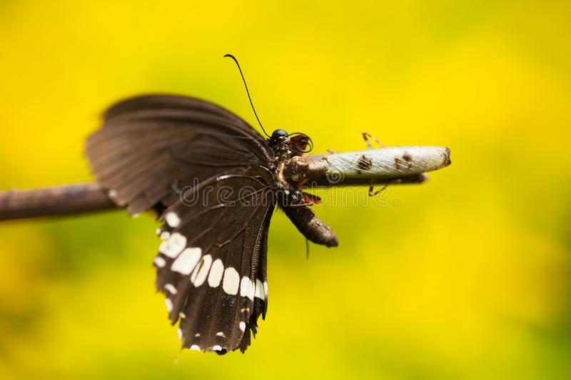 A Praying mantis eating a butterfly royalty free stock photo