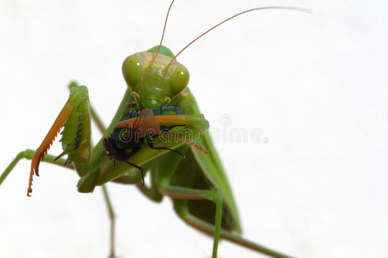 Praying mantis. Eating a domestic fly royalty free stock photos